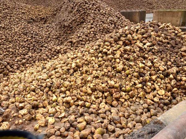 RWB Essen - Besuch der Zuckerfabrik - Rüben für die Zuckerproduktion